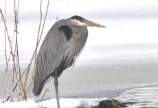 Heron on floating island, winter copy